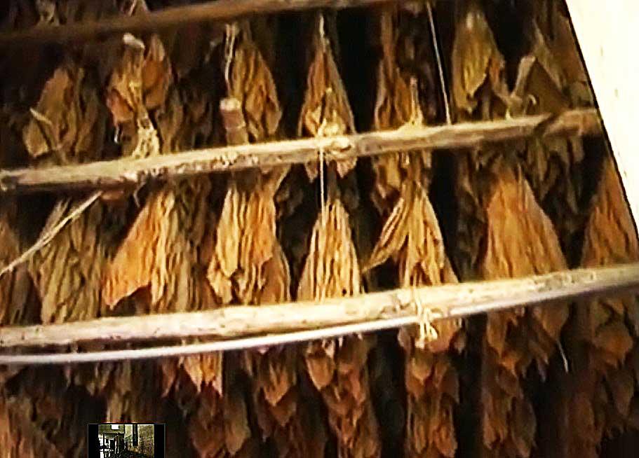 feuille de tabac sèche